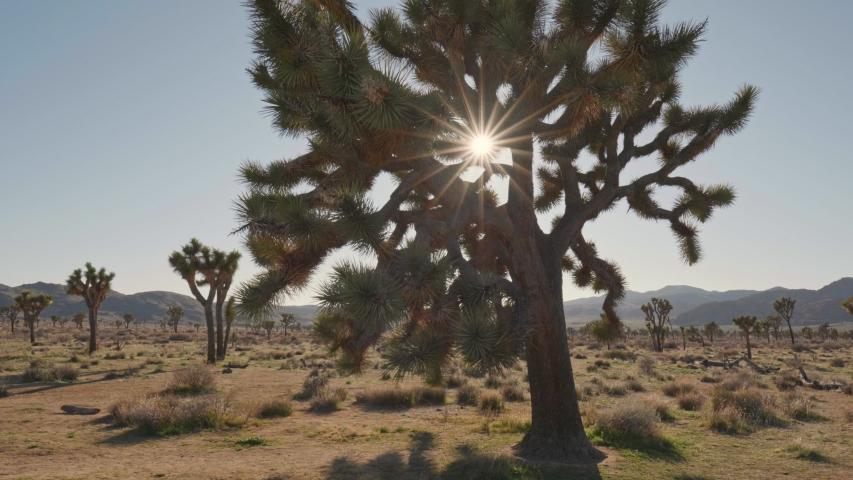 Sun breaks through the branches of Joshua tree in Joshua tree national park. Steadicam shot