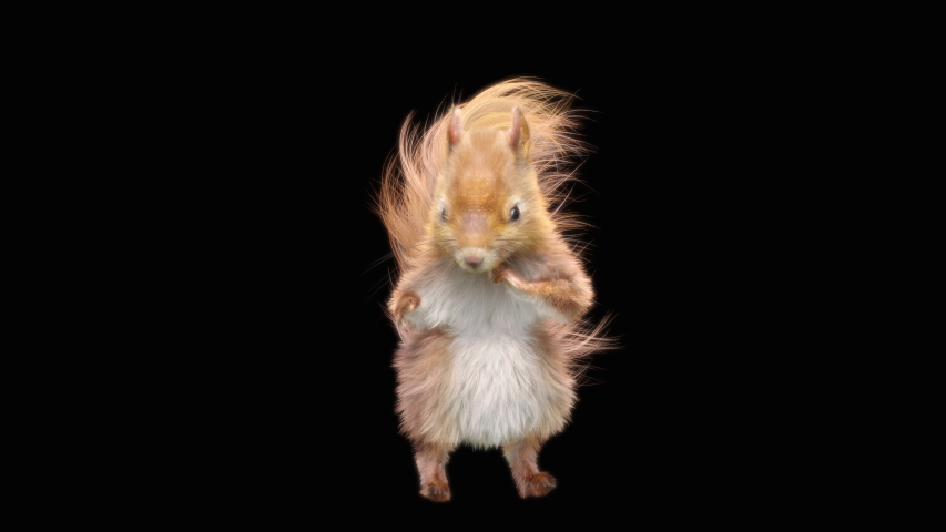 squirrel Dance CG fur 3d rendering animal realistic CGI VFX Animation Loop  composition 3d mapping cartoon, with Alpha matte