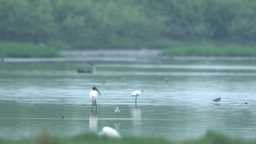 The Black-Headed Ibis walking in wetland ,of Laem Phak Bia , Phetchaburi Province , Thailand. | Shutterstock HD Video #1049569561