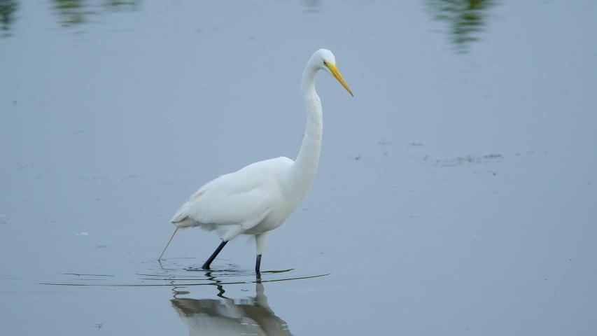 Great Egret wades in wetland pond marsh | Shutterstock HD Video #1049615119