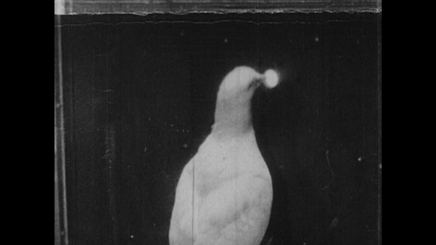 1950s: Pigeon pecks at button on box, eats from slot. Pigeon in cage. Pigeon pecks at button. Tilt down equipment in lab.