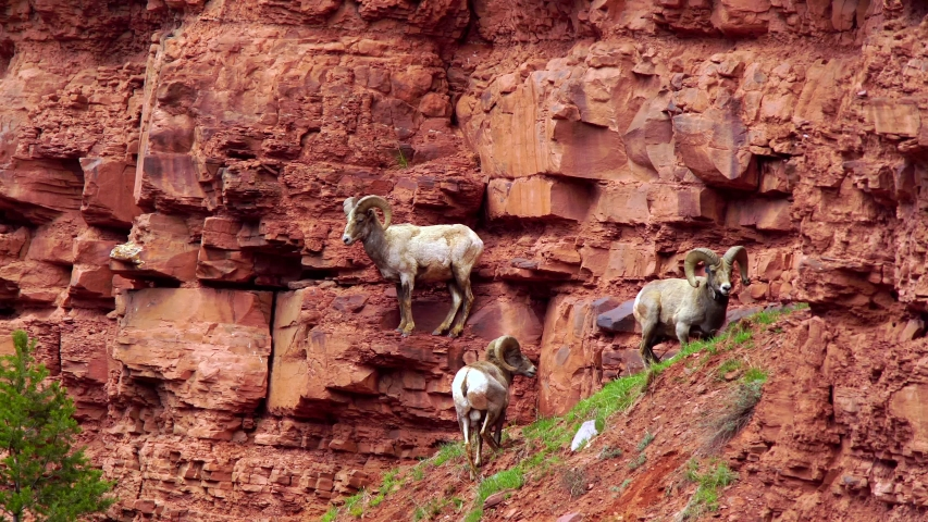 Three bighorn sheep rams stand on a red cliff in the Frying Pan Valley of Colorado. Royalty-Free Stock Footage #1049843179