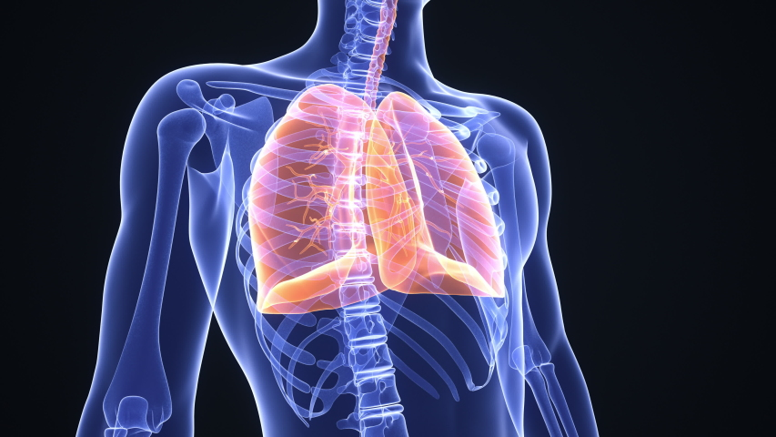 Healthy man breathing regularly. Lungs highlighted in orange. Anatomical x-ray rendering. Realistic high quality medical 3d animation. Seamless looping Royalty-Free Stock Footage #1049858827