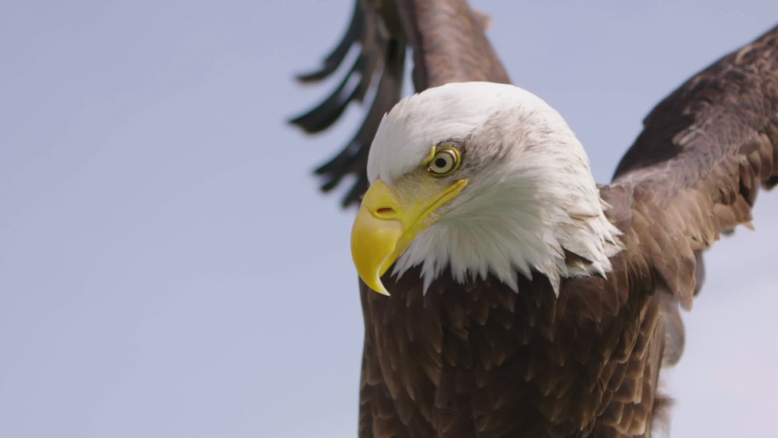 Elegant Bald Eagle Dramatically Flapping Wings in Slow Motion Royalty-Free Stock Footage #1049997673