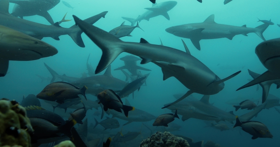Group of sharks from below in the Pacific Ocean. Underwater marine life with grey sharks and fish swimming near coral reef in the Sea. Diving in the clear water - close up | Shutterstock HD Video #1050005359