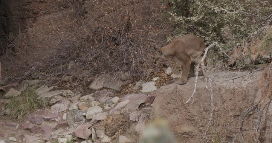 Mountain Lion Male aka Cougar Sitting and Looking Around on Rock in Desert Canyon in America Southwest