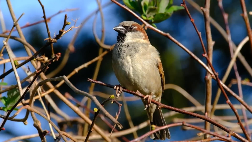 House sparrow in urban house garden looking for food from cover. | Shutterstock HD Video #1050189850