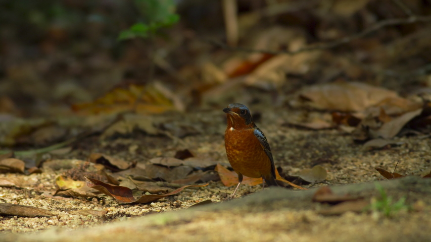 The White-throated rock thrush is a species of bird feeding on ground. It is found in Southeast Asia. Male have blue feather and chestnut bellied feathers. | Shutterstock HD Video #1050318259