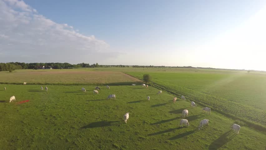 Aerial view of green grass landscape with white flesh cows in the field camera turning at about 20 meters above the ground during sundown bright light footage clip from field with white cows 4k