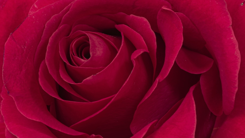 Beautiful Rose Flower background. Blooming rose flower open, time lapse, close-up. Wedding backdrop, Valentine's Day concept. Bouquet on black backdrop, closeup.