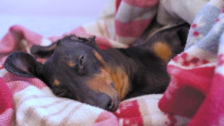 Sleepy adorable black and tan dachshund lies under red plaid blanket and peeps, close up. Attentive dog monitors order and runs to guard home territory when hears noise. Owner called the pet to eat