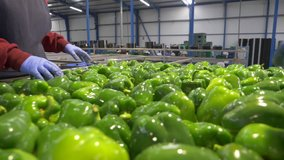 Two operators with blue gloves select green peppers on the production line of a fresh produce factory