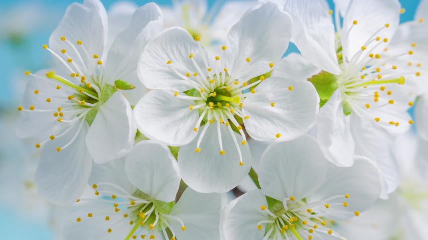 White flowers of a cherry blossom on a cherry tree close up. Time lapse video of the blossoming of white petals of a cherry flower. Macro. Nature. Creative timelapse. | Shutterstock HD Video #1050618460