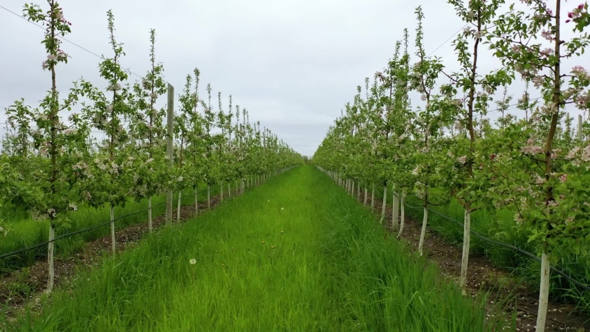Moving through an orchard with apple trees. Agricultural plantation. Farmland. Flying between branches of flowering trees in apple orchard.