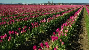 Aerial Drone Video Of the Skagit Valley Tulip Fields in Western Washington State. Colorful spring tulips in full bloom seen from an aerial perspective in this short video clip.