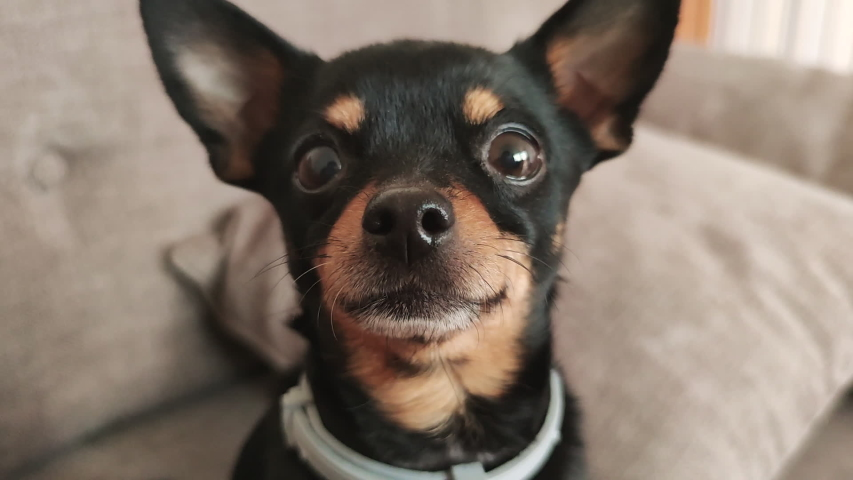 Portrait of a Cute little puppy dog toy terrier on a home background looking at the camera. Caring for pets. | Shutterstock HD Video #1050730630