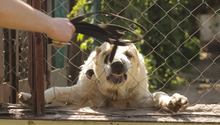 Angry dog barks and growls   Shutterstock HD Video #10507562