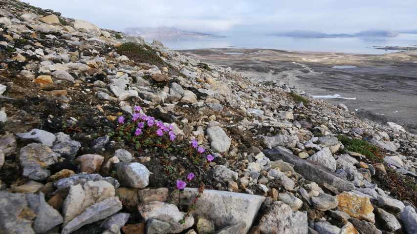 Pink Azalea blossom on surface of Tundra field after melting of ice. | Shutterstock HD Video #1050848812