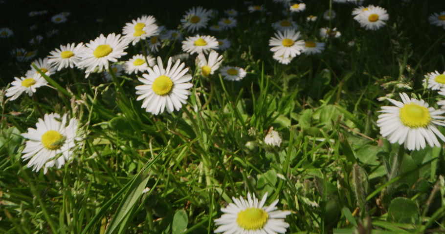 Alternative shot a camera passes between fresh daisies on a green lawn in a sunny day. Concept: nature, flowers, spring, biology, fauna, environment, ecosystem | Shutterstock HD Video #1050890899