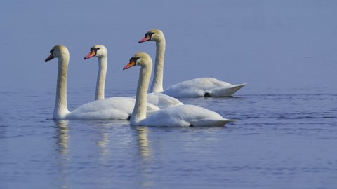 Mute Swans ( Cygnus olor ) slowly floating on the lake on a sunny spring day. Close-up.