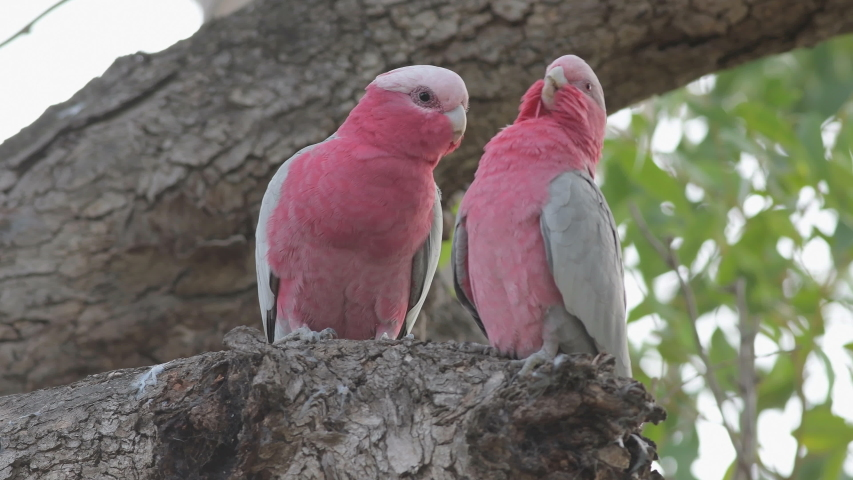 Galah couple sitting in the tree and preen their feathers, Perth, Western Australia, Australia