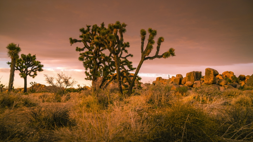 A group of Joshua Trees under dramatic sky at sunset. High quality footage