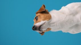 Portrait of dog breed Jack Russell Terrier turns his head and looks up at place advertisement copy space, sitting. Dog blogger looks at camera on blue background. Pets. Vertical video for stories