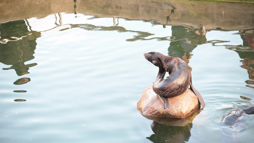 A young seal sits on a stone in the middle of the water. The animal scratches its back and head with flippers.