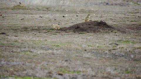 Prairie dog keeps watch as its friend grazes on fresh spring green grass