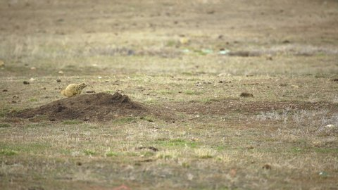 Shabby looking prairie dog yells from its burrow as other feed in background