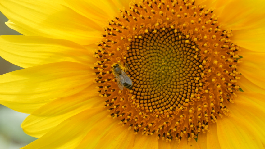 A bee crawls and pollinates a sunflower on a hot summer day in the field. | Shutterstock HD Video #1051205548