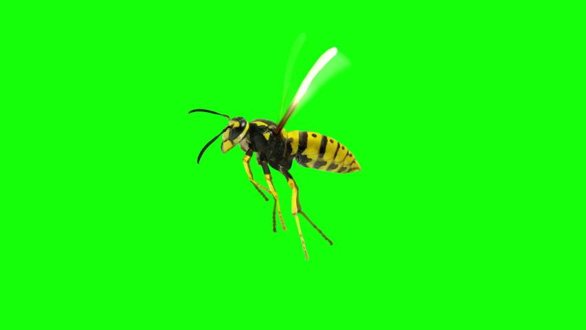 Isolated Flying Wasp Loop over Green Screen | Shutterstock HD Video #1051226338
