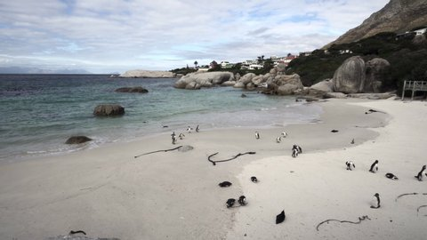 Lockdown shot of cute penguins on the sand by scenic bay - Cape Town, South Africa