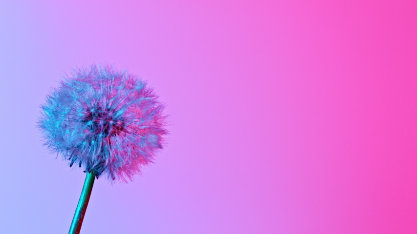 Macro Shot of Dandelion being blown in super slow motion on neon background. Filmed on high speed cinematic camera at 1000 fps.