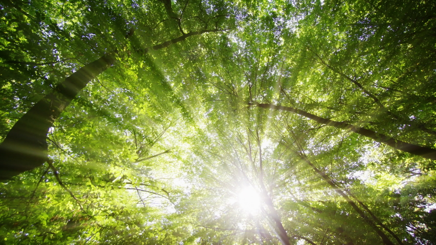 Rays of golden sunshine filter throught the green leaves and branches of a high tree canopy in this Ukrainian forest wilderness. | Shutterstock HD Video #1051625557