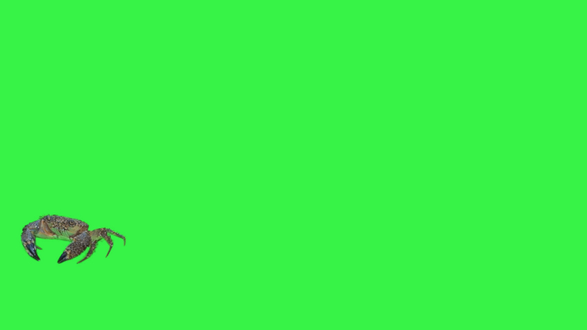 This stock video shows a crab moving in front of a green screen.