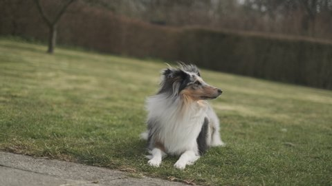 A short clip of a cute canine dog with long white fur on its body and black patches on its face as he stands up from the grass and walk towards the camera wagging its tail.