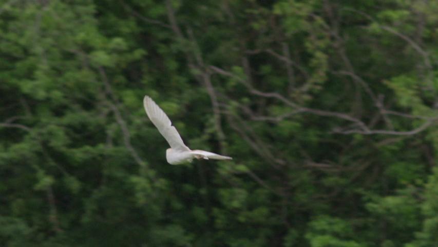 Barn owl (Tyto alba) flying, Compton Abbas, Dorset, UK