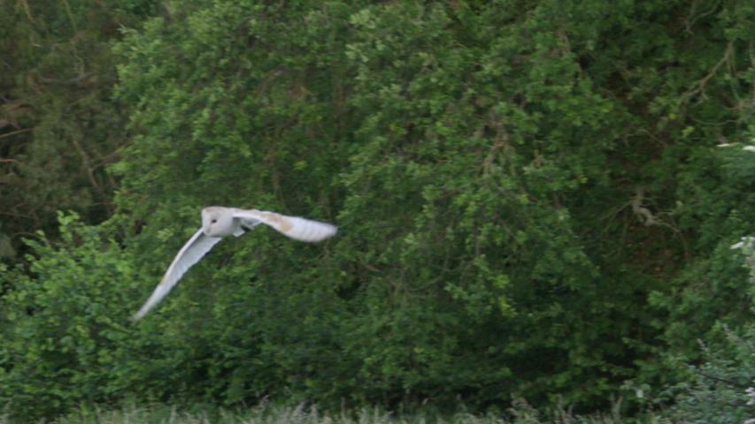 Barn owl (Tyto alba) flying above meadow, Compton Abbas, Dorset, UK