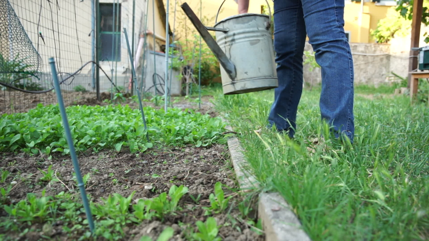 Friendly adult woman watered with a watering small plants of lettuce in the garden - Senior working the land in its social urban garden in anticipation of the harvest - Ecological and sustainable | Shutterstock HD Video #1051745713
