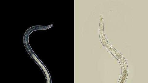 Pinworm helminthiasis kezelés, Helminth petesejtterápia