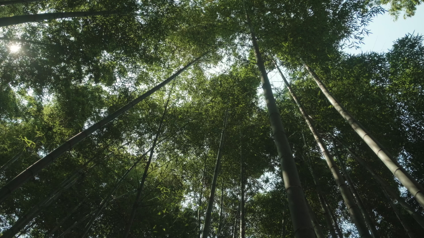 Looking up at a dense bamboo forest in spring. Tracking shot.   Shutterstock HD Video #1051930159