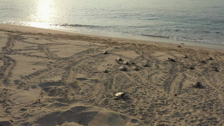 Sea turtles crawling on the beach to go down to the sea.   Shutterstock HD Video #1051958314