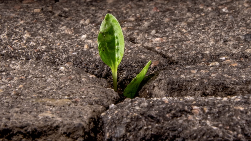 A green sprout breaks through the cracking asphalt, the life force of nature, time lapse. Royalty-Free Stock Footage #1051986763