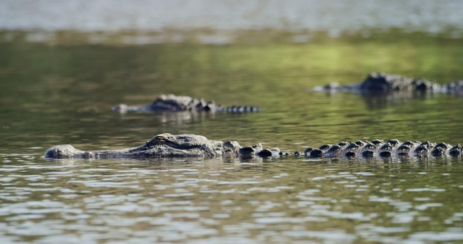 Alligator slowlyes past two stationary Aligators in still water.