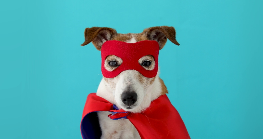 Dog super hero costume. little jack russell wearing a red mask for carnival party isolated blue background | Shutterstock HD Video #1052274349