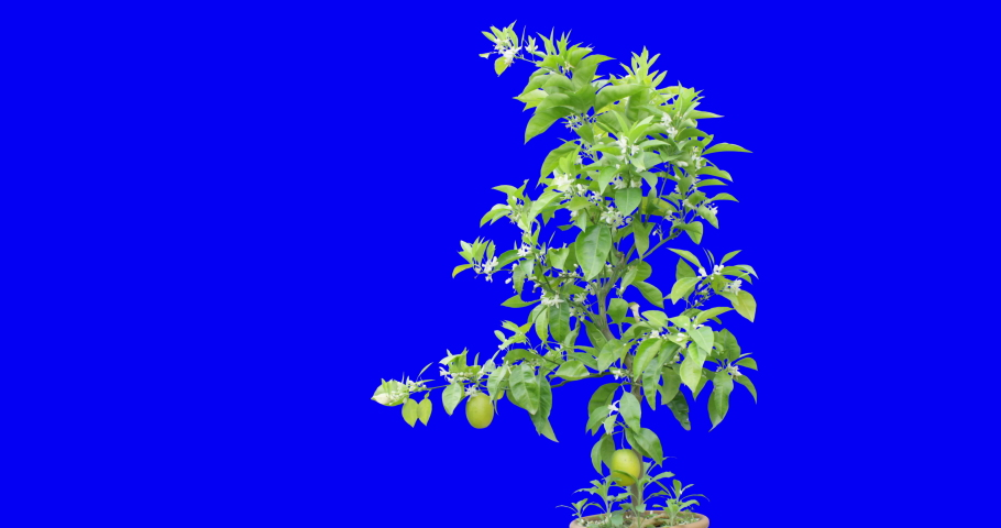 Blossom and gorgeous lemon tree shot on blue screen background during a mild windy day | Shutterstock HD Video #1052283460