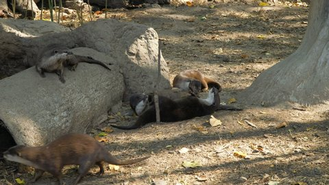 An oriental small-clawed otters in the zoo