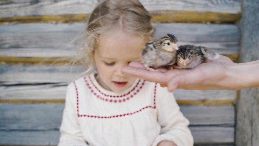 A little girl and Guinea fowl Chicks in the hands of their mother | Shutterstock HD Video #1052459854