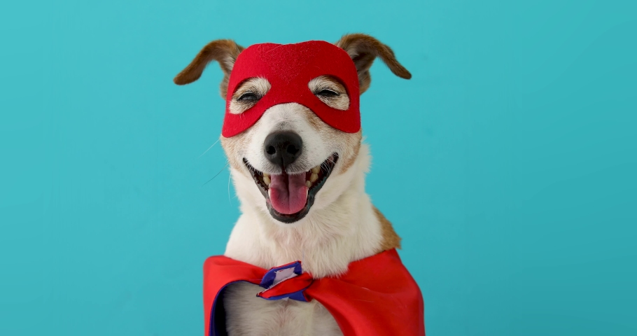 Dog super hero costume. little jack russell wearing a red mask for carnival party isolated blue background | Shutterstock HD Video #1052535209